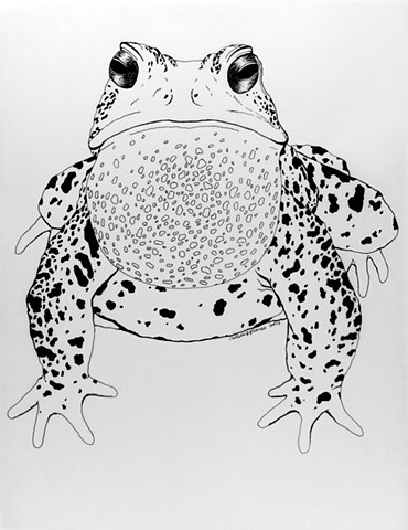 American toad drawing, amphibian, frog illustration by Chelsea Clarke