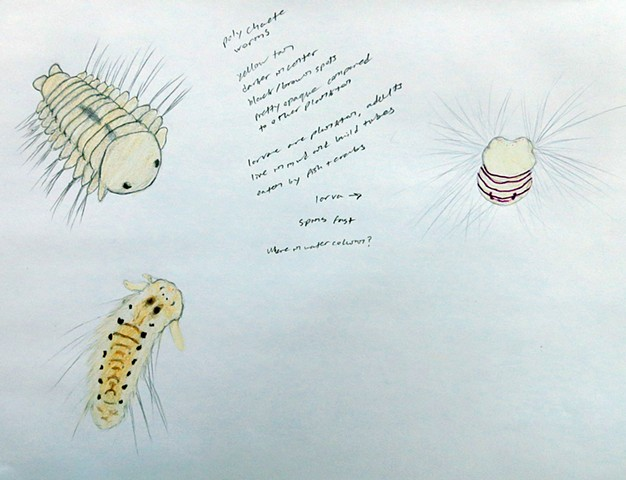 Polychaete worm larvae plankton drawing, scientific illustration by Chelsea Clarke