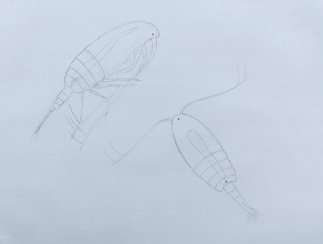 marine biology sea life drawing of copepods by Chelsea Clarke
