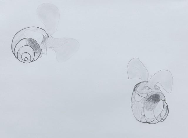 graphite pteropod sea butterfly plankton drawing by Chelsea Clarke
