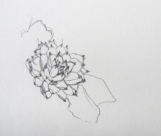 graphite drawing of hens and chicks sempervivum succulent plant by Chelsea Clarke