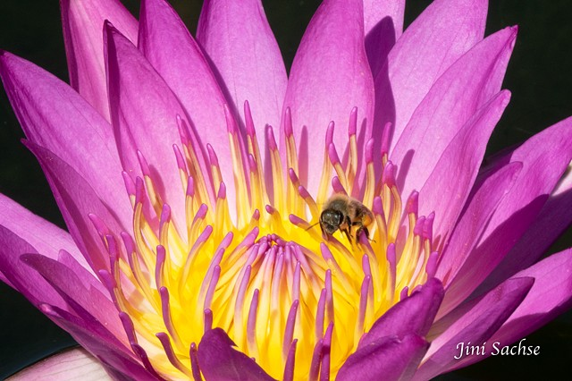 Water Lily, Bee, Stuttgart, Water Lily With Bee, Wilhelma Gardens, Flowers