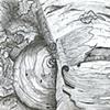 Zebra Mushroom
