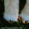 Golden natural hooves with white sparkle fur tufts