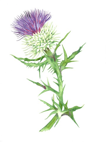 Donna Essig watercolor thistle
