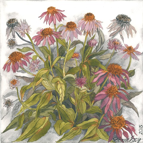 coneflowers watercolor