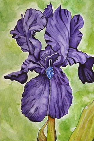 Watercolor and ink painting of a purple bearded iris