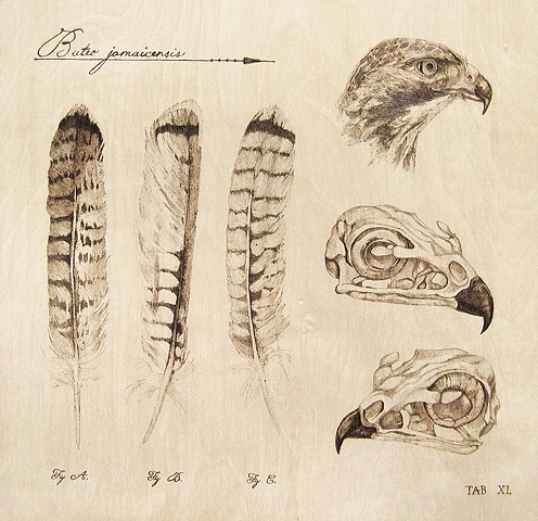 Red-Tailed Hawk, Scientific Study
