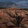 Juniperus, Utah