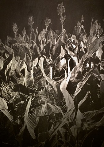 This image is of a large field of cannas plants.