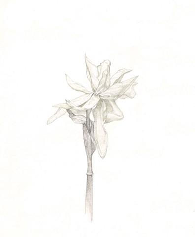 Daffodil in Copper