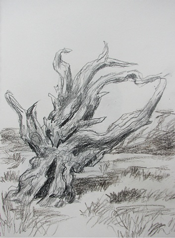drawing of Bristlecone Pine by Chris Mona