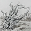 Bristlecone Pine, Mojave, from Sketchbook No. 20