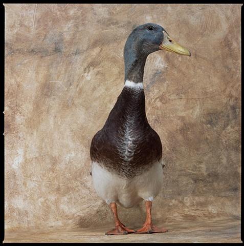 Photograph of  AppleyardDuck, Duck, Drake, fine art, fine art print