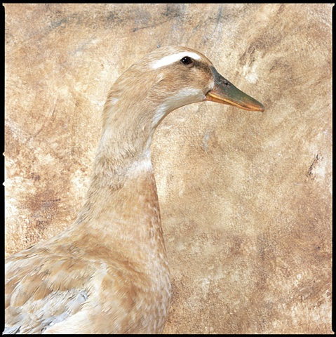 Photograph of Buff Duck, Duck, fine art, fine art print, Steamboat Springs, Colorado by JoAnn Baker Paul