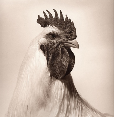 Photograph of a Rooster by JoAnn Baker Paul in Steamboat Springs, Colorado, fine art, fine print