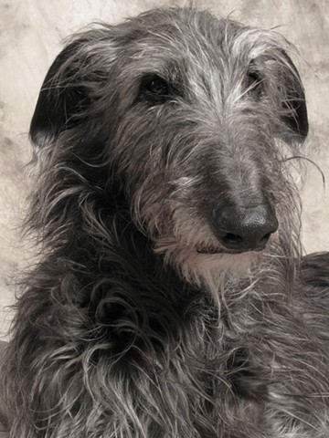 photograph of a scottish deerhound, deerhound, fine art, fine printmaking
