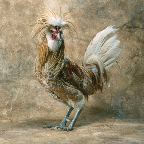 Studio photograph of a Buff Laced Polish Rooster made in 2003 in Steamboat Springs, Colorado.
