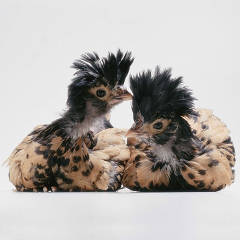 Studio photographs of adolescent golden polish crested chickens made in 2003 by JoAnn Baker Paul photographer, fine art, fine printmaking, in Steamboat Springs, Colorado