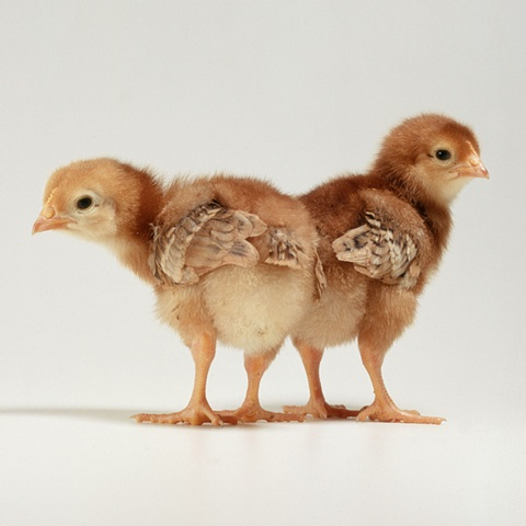 Photograph of baby chicks made in 2003 by JoAnn Baker Paul in Steamboat Springs, Colorado