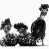 Three Adolescent Silver Crested Polish Chickens