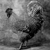 Barred Rock Rooster Standing  (Big Jim) in black & white