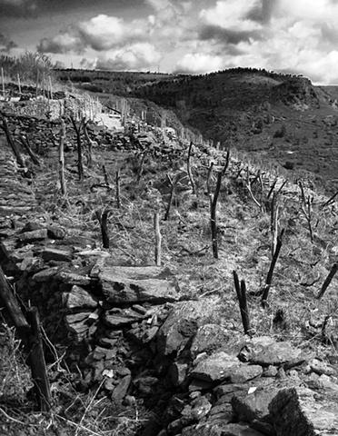 Vineyard in Galicia