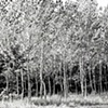 """A Stand of Trees""  A stand of trees with beautiful white bark swaying in the breeze"