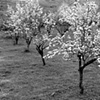 """Apple Trees in Bloom""  The start of a beautiful spring after a cold winter"