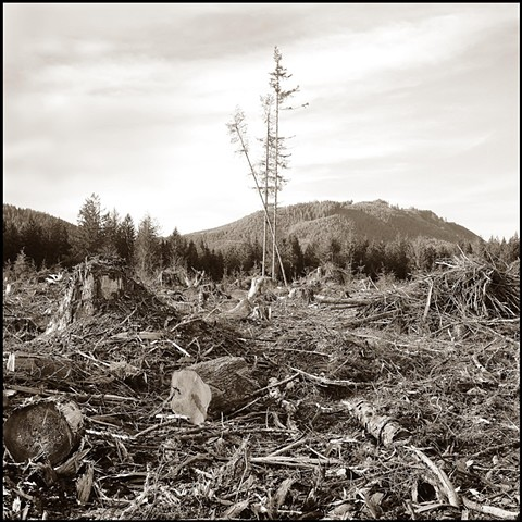 Three Trees In Clear Cut, Olympic Peninsula, WA