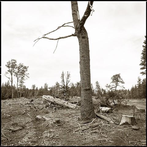 Oak Tree in Clear Cut, Siskyou County, CA