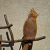 Phainopepla Bird
