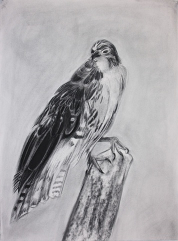 Red Tail Hawk (black and white study)