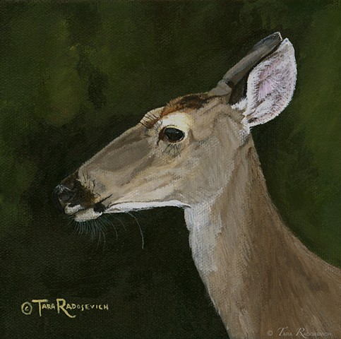 """Grace (White Tail Doe Study)"""