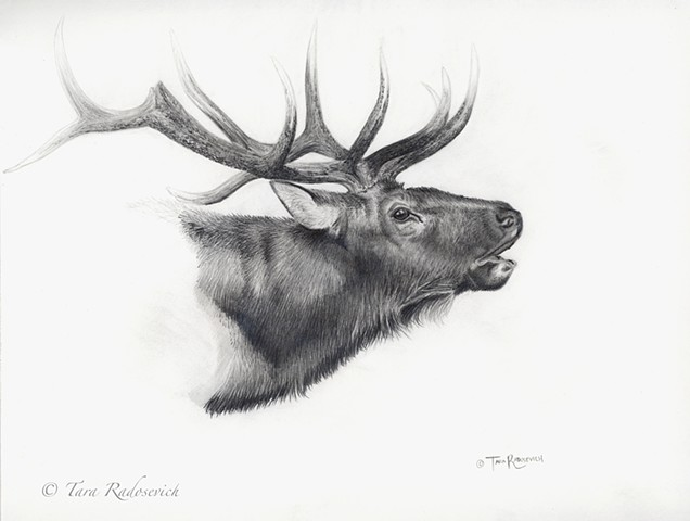 bull elk, elk, wildlife, wildlife art, deer, wildlife artist