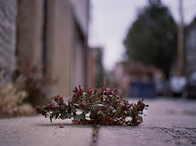 Redroot pigweed, South Philadelphia