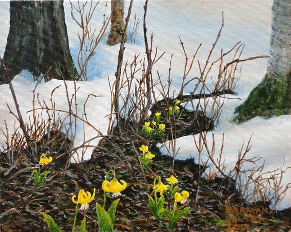 A painting of yellow glacier lilies which pop up as soon as the snow thaws on the slopes of the Rocky Mountains in B.C.