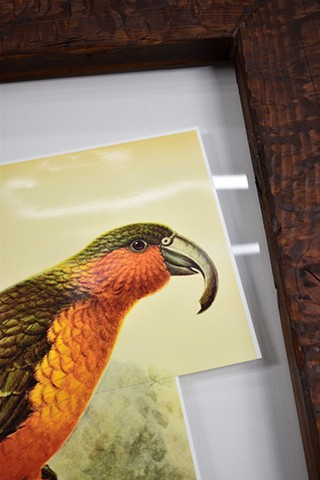 "Water Kerner ""Extinct Norfolk Island Kaka"" DETAIL"