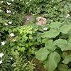 Central Illinois perennial garden with Jack-in-the-pulpit