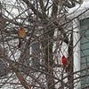 Cardinal pair in a winter garden