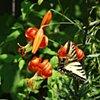 Perennial garden with Monarch butterflies
