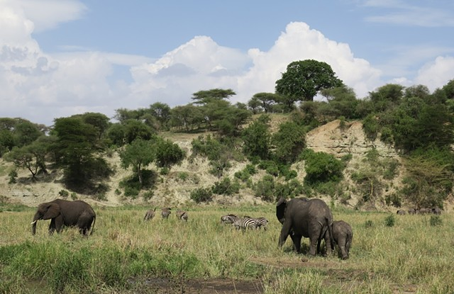 Tanzania Residency - Elephants...  Lots of elephants!