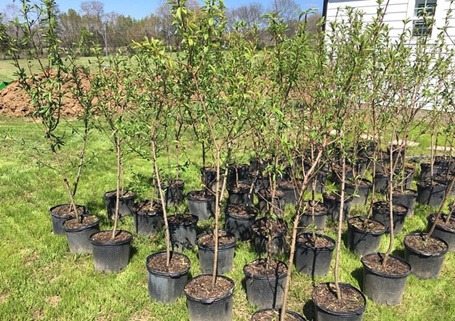 Peach tree babies have arrived, all 78 of them!
