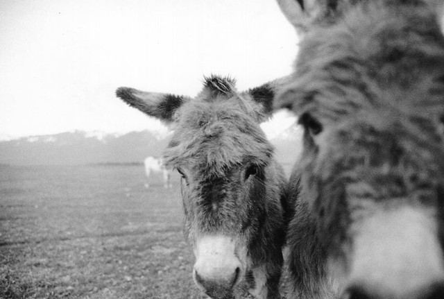 Donkeys of the Mission Mountains 2