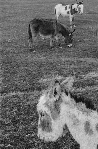 Donkeys of the Mission Mountains 3