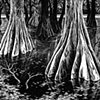 Cypress Waltz
