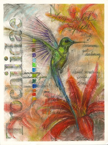 Long Tailed Sylph Hummingbird Art Drawing Birds Nature Drawings Flora and fauna Laura Lebeda