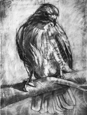 birds hawk prey charcoal drawing
