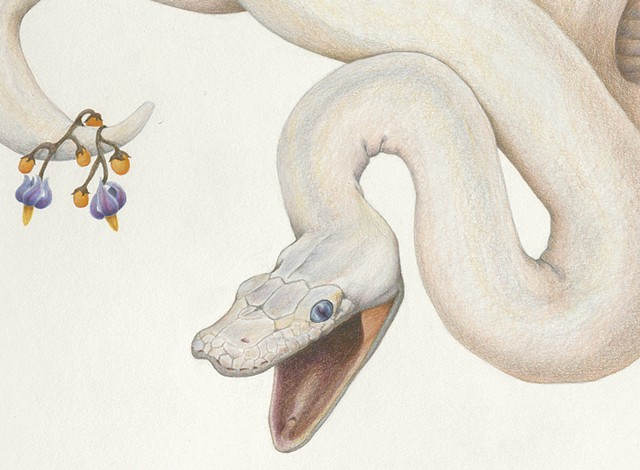 #laurenlevatocoyne, #wolfpeach, #drawing, #coloredpencil, laurenlevatocoyne, wolfpeach,detail leucistic ball python snake drawing with nightshade flower by Lauren Levato Coyne, prismacolor, faber castell, pencils, graphite, colored pencil, Lauren Levato