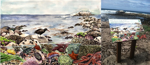 Interpretive panel, tidepools natural history illustration